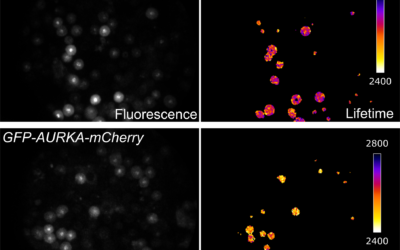 Automated screening of AURKA activity based on a genetically encoded FRET biosensor using Fluorescence Lifetime Imaging Microscopy